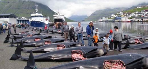 gindini1 - Abgeschlachtete Grindwale. Foto: Sea Shepherd / Peter Hammarstedt